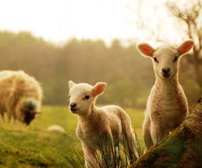 New Zealand farm guide for August: Fight weeds, keep pigs warm, test soil, protect lambs, buy calves