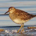 Pectoral Sandpipers Lookin' for Love in All the Right Places