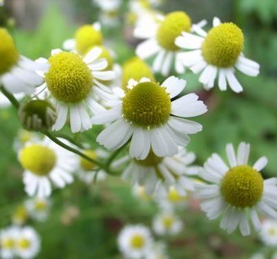 Chamomile tea is not just for promoting sleep; it has other health benefits as well