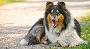 Improve Your Collie's Skin & Coat With This One Simple Hack