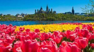 Canadian Tulip Festival drew largest number of visitors in a decade