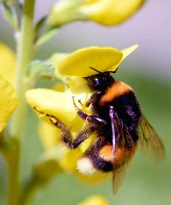 Did you know bumblebees have smelly feet? Why nature's fuzziest pollinator is starring in Rachel Weston's new children's book