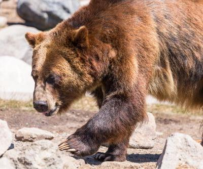 Judge blocks grizzly bears hunts, restores protections