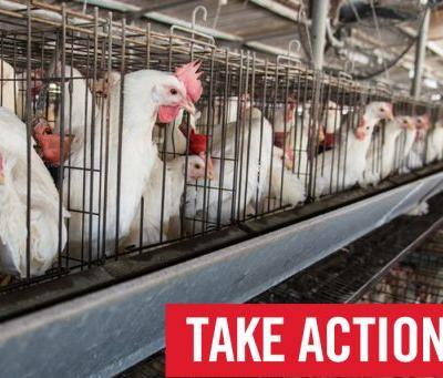 URGENT: Tell the USDA to Provide Basic Protections for Farmed Animals