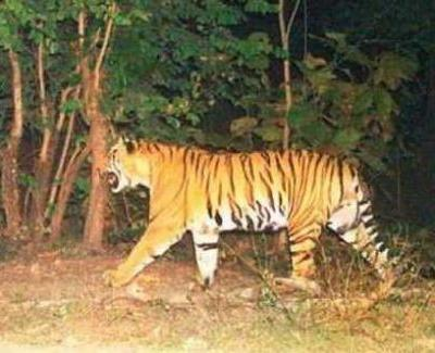 Tiger was electrocuted by poachers in core area of Kawal Wildlife Reserve