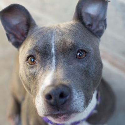 """BUFFY"" little bat-earred grey Pitbull"