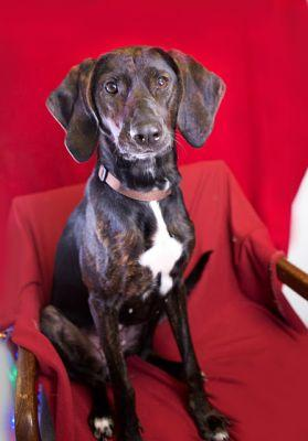 """ FRIDA "" pretty little Plott Hound"