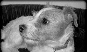3 Amazing Ways To Honor A Jack Russell Who Passed Away