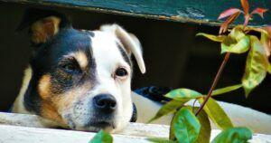 Separation Anxiety After COVID-19: How Will Your Dog Cope?