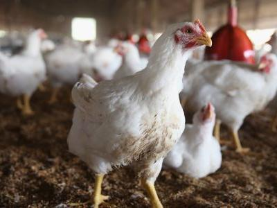 The DOJ is reportedly probing Tyson and other major processors over poultry price-fixing claims - and chicken stocks are sinking