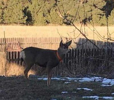 'Hand-raised' deer attacks man, chases 10-year-old boy