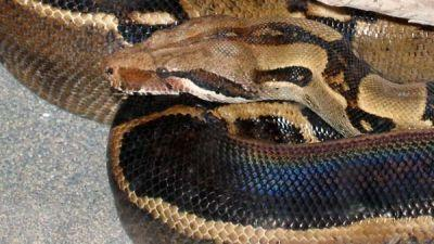 Ohio woman attacked by rescued boa constrictor