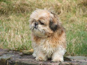 3 Signs Your Shih Tzu Is Overweight