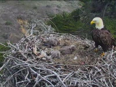 Bald eagle reacts during earthquake that struck California's Channel Islands National Park