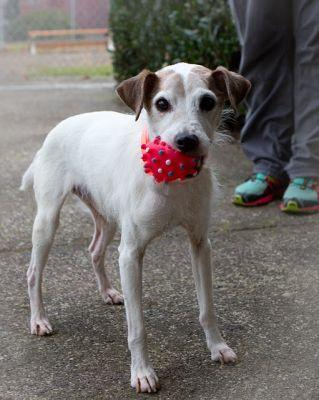 """JACK JACK"" nice mature Jack Russell mix loves Squeaky toys"