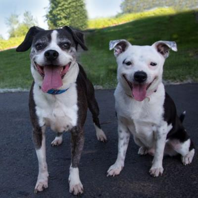 """""""SHORTIE"""" boston/beagle mix and """"SHADOW"""" rat terrier mix - BONDED PAIR"""