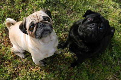 5 Questions To Ask Yourself Before Getting A Pug