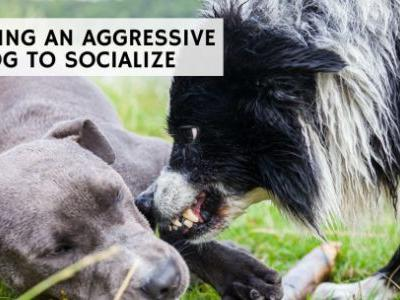 Teaching an Aggressive Dog to Socialize
