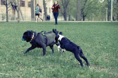 3 Tips To Getting Your Pug To Come When Called