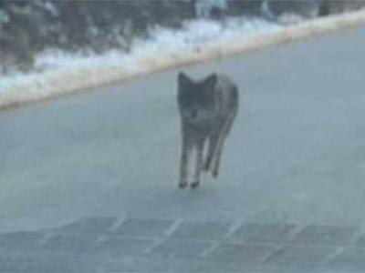 Dad kills coyote with bare hands after animal threatens child, police say