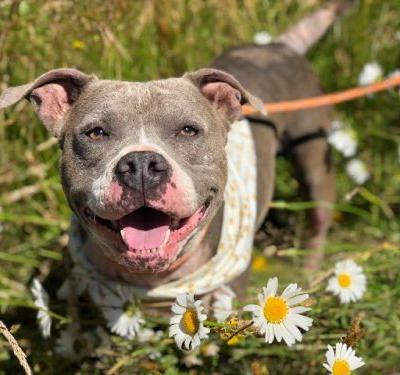"""MAXINE"" sweetie young Pitbull - needs TLC - Tillamook County Animal Aid Rescue"