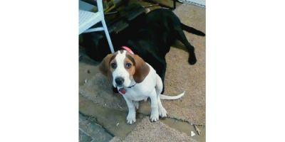 Riley turns out to be a purebreed Treeing Walker Coonhound