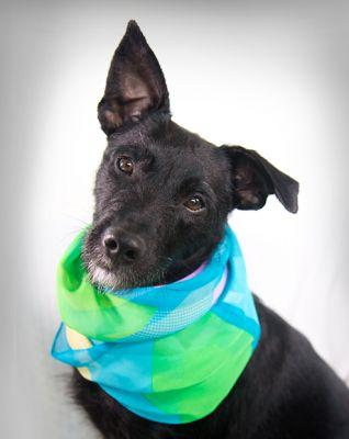 """JELLYBEAN"" Patterdale Terrier mix - happy adoption update!"