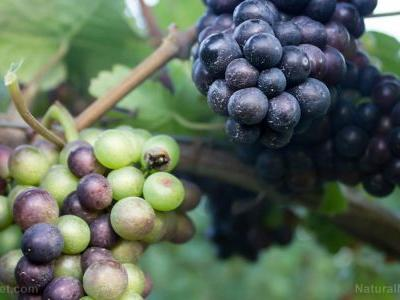 "Grapes have long been hailed as the ""food of the goods"". they contain powerful antioxidants that protect your health"
