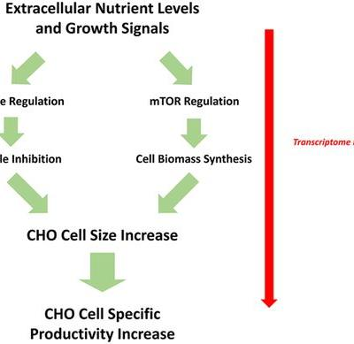 Transcriptome Analysis of CHO Cell Size Increase During a Fed‐Batch Process