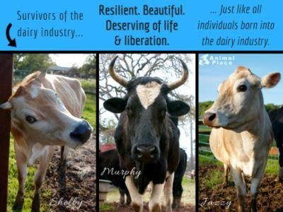 The dairy industry is not harmless, but rather founded on