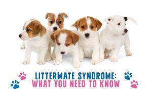 Littermate Syndrome