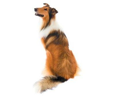 Fun Facts You Didn't Know About the Collie