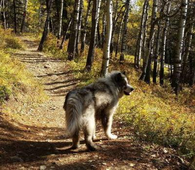 Canadian Eskimo Dog Breed Information Guide: Quirks, Pictures, Personality & Facts