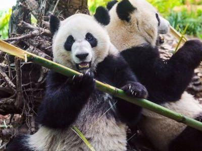 Two giant pandas return from Canada, to quarantine in Chongqing