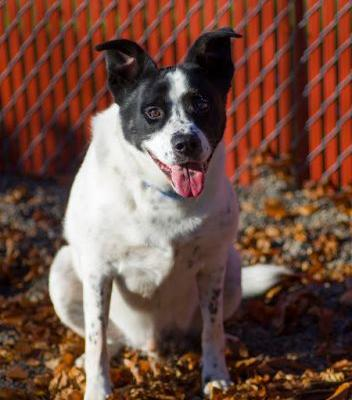 """""""BOOGIE"""" playful but easy going too - Border Collie mix"""