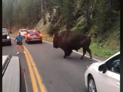 Officials apprehend 55-year-old accused of harassing a bison at Yellowstone