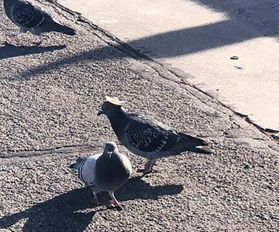 Pigeon spotted wearing tiny sombrero - after pigeon in cowboy hat dies