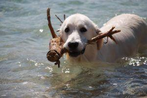 3 Things All Golden Retriever Owners Should Know