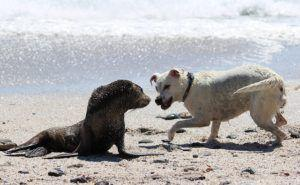 Sick Sea Lions Are Putting Local Dogs At Risk