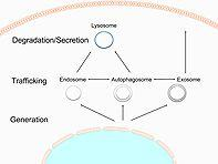 Autophagy and the endo/exosomal pathways in health and disease