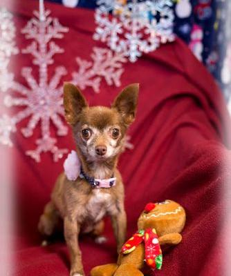 """LADY BELL"" tiny chihuahua"