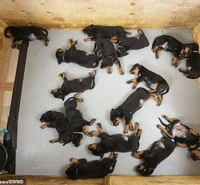 Sweet sixteen! Soldier's Rottweiler gives birth to the UK's largest ever litter of 16 puppies
