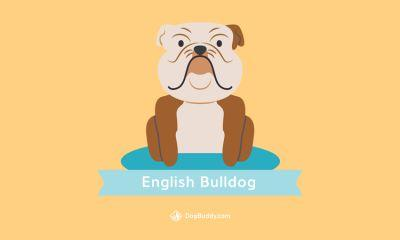 Woofpaper: English Bulldog