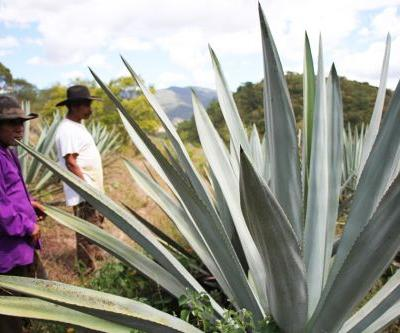 Are Field Blends The Key To Mezcal's Future?