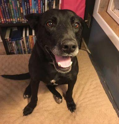 Adoption Monday: Spain, Retriever & American Staffordshire Terrier Mix, Page, AZ