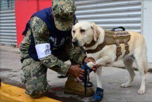 This Adorable Labrador Has Located 53 People, Including 12 From Recent Mexican Earthquake