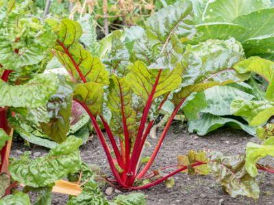 A simple guide to growing rhubarb