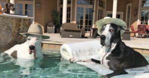 Deaf Great Dane Hilariously Protests His Right To Swim