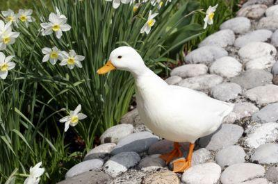 Love Ducks? Then An English Call Duck Might Be For You!