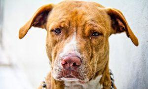 3 Amazing Ways To Honor A American Staffordshire Terrier Who Passed Away
